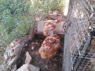 rescue_chickens